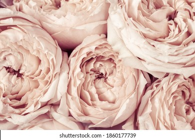 Pink and peach peony roses flowers close up. Natural flowery background from petals. Macro photography. Soft selective focus.