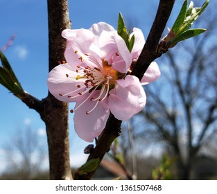 Pink peach tree blossom
