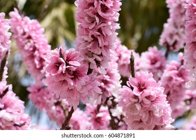 pink peach tree in full bloom with green and blue background