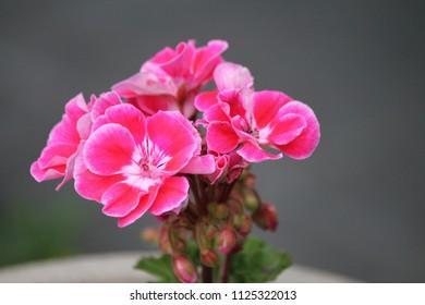 pink pelargonium flower