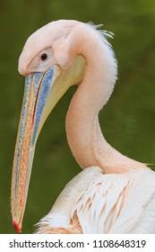 Pink pelican closeup