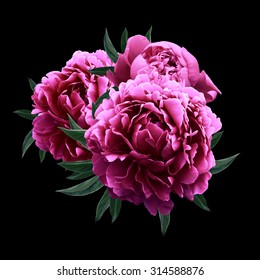 Pink peonies close up isolated on black background