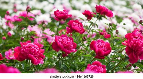 Pink peonies flower bloom on background of blurry white peonies in peonies garden.