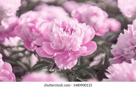 Pink Peonies flower bloom on background of blurry pink peonies in flowering garden.