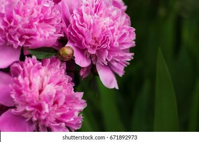 Pink peonies in the garden. Blooming pink peony. Closeup of beautiful pink Peonie flower.