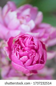 Pink peony about to fully open up. Peonies are such pretty and dramatic flowers in spring.