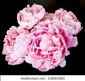 Pink Peony blooms opening on black background