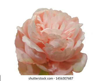 Pink peony blossom on white background (isolated). Concept of vulnerability, femininity and beauty.