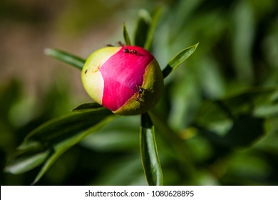 pink peony bud with ants, on a green background.