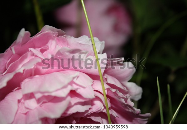 pink peony up close with blade of grass in foreground and pink peony in background at night
