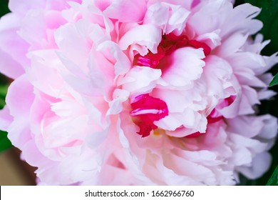 Pink peony closeup. Floral background. Beautiful pink flower.