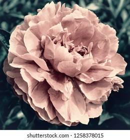 Pink peony flower close up, stylized
