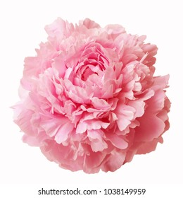 Pink peony flower isolated on white background.