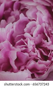 Pink Peony flower. Macro photography.Vintage floral wallpaper.