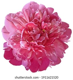 pink  peony flower on a white isolated background with clipping path.  For design.  Closeup.  Nature.
