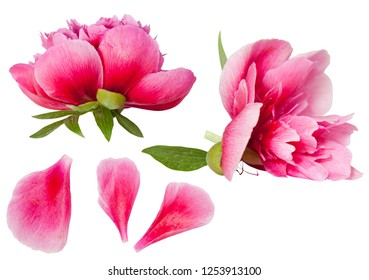 Pink peony flower and petals isolated on white