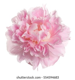 Pink peony flower rozovidnoy form isolated on white background.