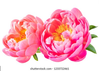 Pink peony flowers isolated on white.