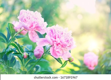 pink peony Flowers in summer garden. gentle floral nature background. blossom season.