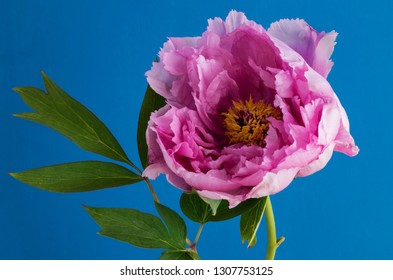 Pink Peony on a hand painted blue background with a vintage colour filter from the Nik Collection 2018 edition.