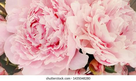 Pink peony petals blossom flowers beautiful background wallpaper