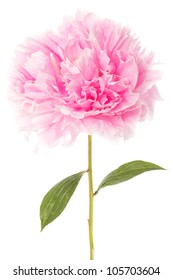 Pink peony with two green leaves over a white background