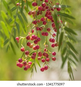 A pink pepper tree with peppercorns called Schinus molle also known as Peruvian pepper tree.
