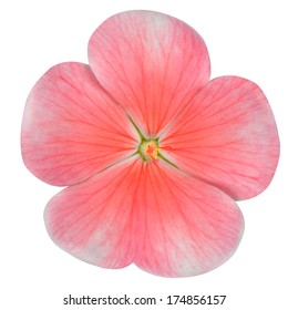 Pink Periwinkle Flower with Red Center - Vinca Minor  Isolated on White Background