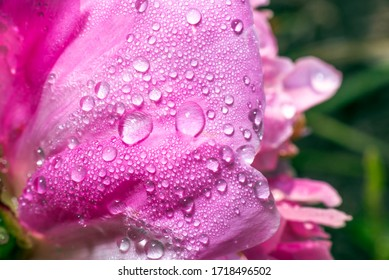 Pink petals of a blooming peony. peony close-up. drops of dew