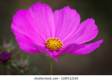 Pink petals with bright yellow centers (Cosmos