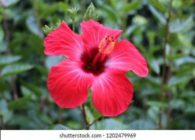 hawaiian state flower images stock photos vectors shutterstock