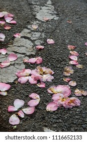 Pink petals lay strewn and trampled across the black pavement of a road.