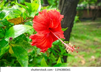 Pink petas of Hawaiian hibiscus blossom cover stamen and pistil, known as Shoe flower, Chinese rose, rosa de sharon, Hawaii state flower and also Pua aloalo or ma'o hau hele in Hawaiian language