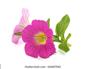 Pink petunia flower on a white background