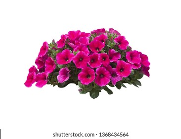 Pink petunia flowers in a large heap isolated on white.