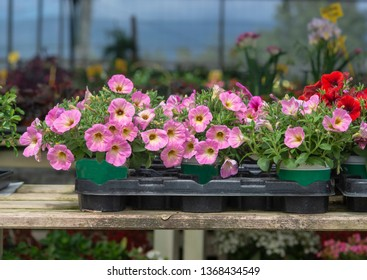Pink petunia flowers in pots inside greenhouse. Spring garden series, Mallorca, Spain.