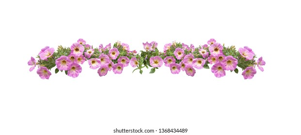 Pink petunia flowers string margin element isolated on white. Spring garden series, Mallorca, Spain.
