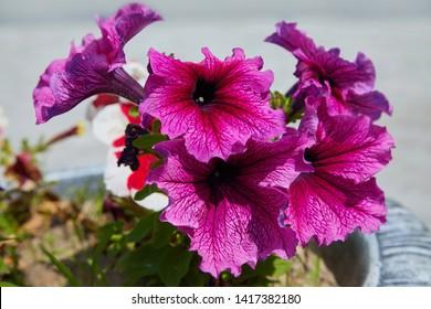 Pink Petunia. Large purple petunia flower (Petunia Grandiflora, Daddy petunia). Lots of beautiful flowers in the garden.