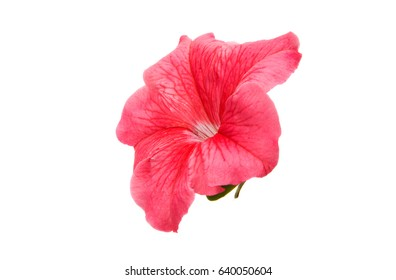 Pink petunia on a white background
