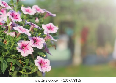 pink petunias ,colorful petunia flower (Petunia hybrida) in the garden with blurred background