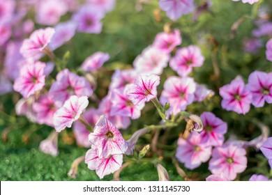 pink petunias ,colorful petunia flower (Petunia hybrida) in the garden