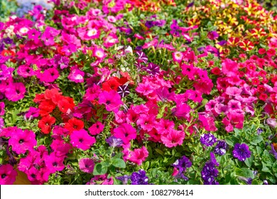 Pink petunias on flowering background