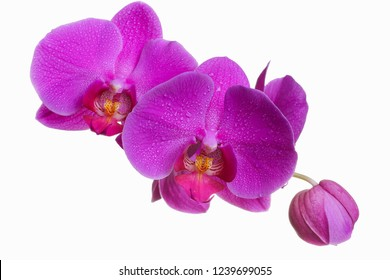 Pink phalaenopsis isolated on white background, flowers closeup, branch of orchid.