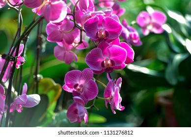 pink Phalaenopsis or Moth dendrobium Orchid flower in the garden. shallow dept of field.