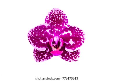 pink Phalaenopsis or Moth dendrobium Orchid flower in winter or spring day tropical garden isolated on white background.Selective focus.agriculture idea concept design with copy space add text.