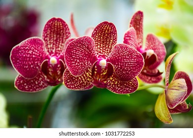 pink Phalaenopsis or Moth Orchid flower in winter or spring day tropical garden Floral background.Selective focus.agriculture idea concept design with copy space add text.
