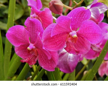 Pink phalaenopsis orchid closeup at the National Orchid Garden, Singapore