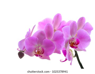 Pink phalaenopsis orchid flower isolated on white background
