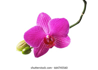 Pink phalaenopsis orchid flower isolated on white