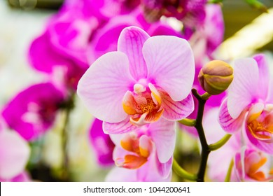pink Phalaenopsis Orchid or Moth Orchid flower and branch are blooming with bud in tropical garden.Orchid flower growing in thailand farm.orchid background blurred.for postcard.isolated on white.
